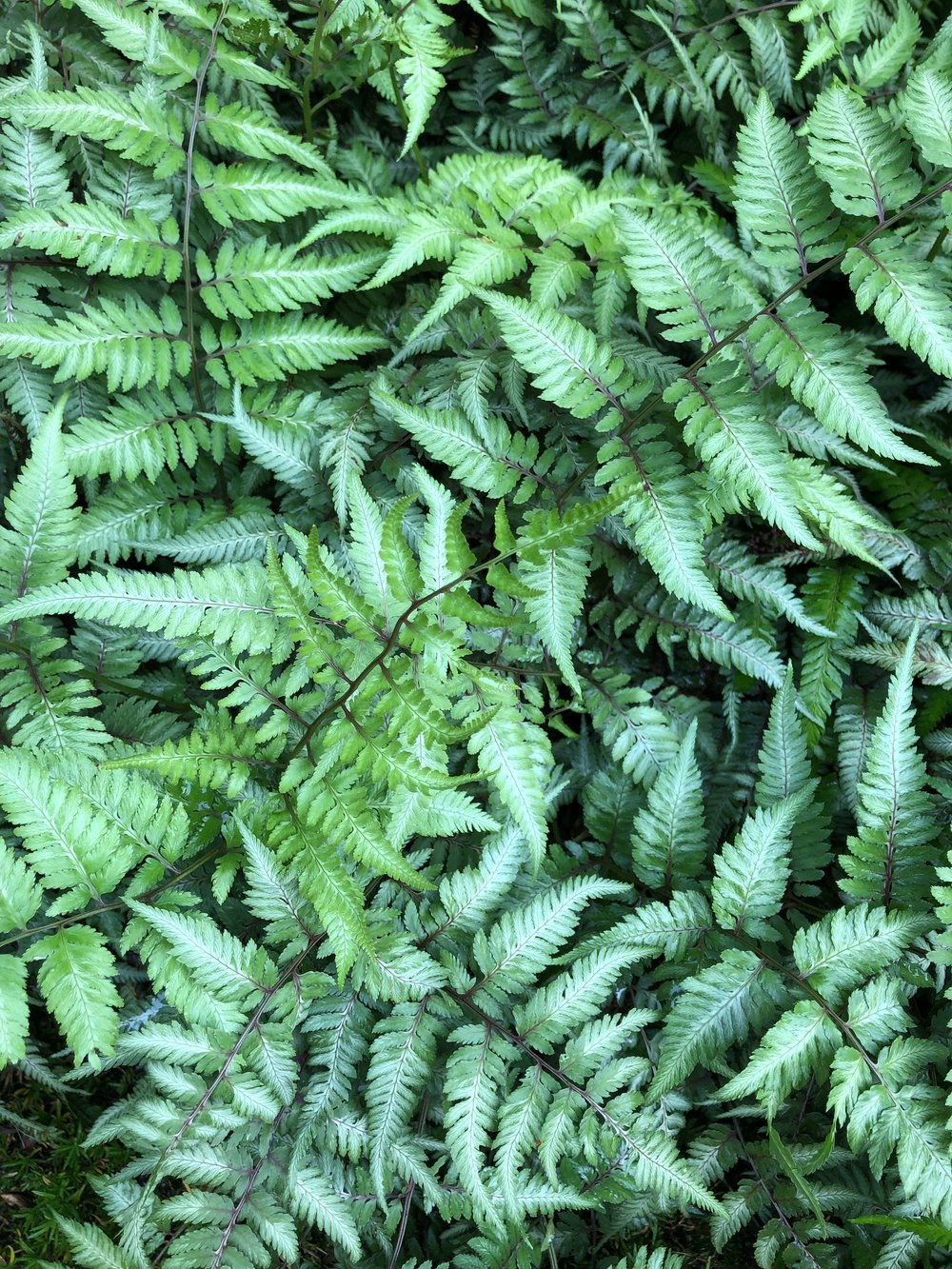 Look at the pattern and different shades of green on these ferns.