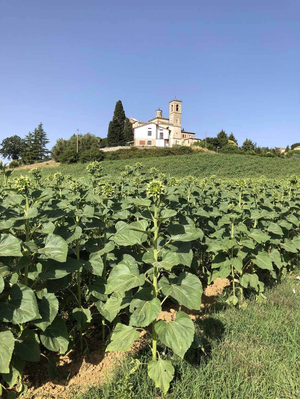 Sunflower field below church, Colombella, Umbria, Italy. Monday morning, July 2nd