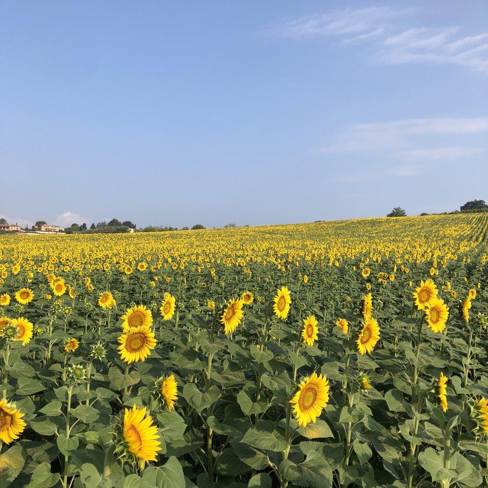 large-sunflower-field-umbria.jpg