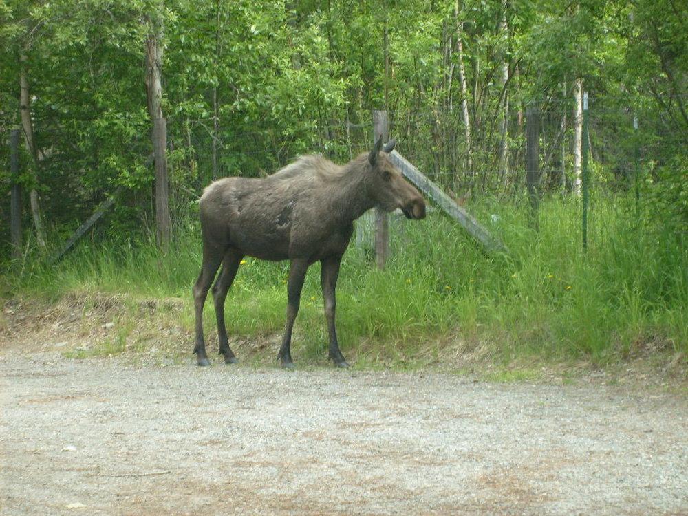 Glimsen-moose-1.JPG