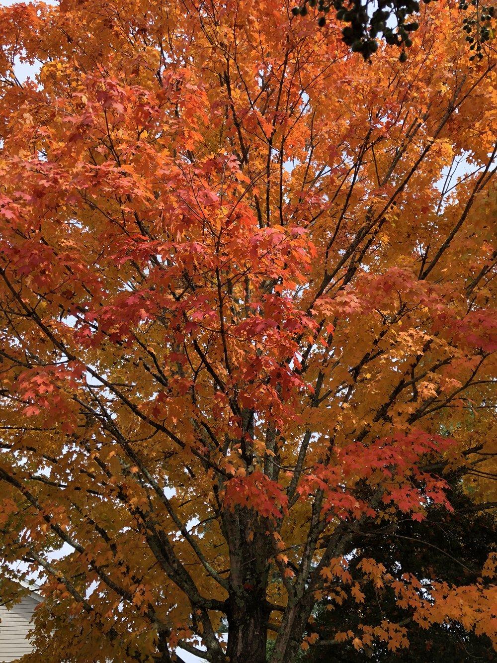 glimsen-orange-tree.jpg