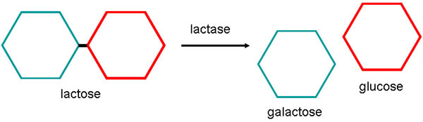 Lactase is the enzyme that splits lactose into two smaller sugar molecules: galactose and glucose. Without lactase, lactose cannot be digested and will pass from the small intestine to the colon. Image from Sciencebuddies.org