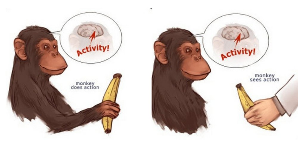 "Discovery of mirror neurons invites a neuroscientific understanding of the saying, ""Monkey see, monkey do"". Mirror neurons may be the basis for imitation, the process by which humans learn to do, essentially, everything (Iacoboni). Image from psu.edu"
