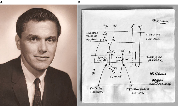 Image A: Photo of Dr. Robert K. Krane from the 1960's. Image B: Dr. Krane's hand drawn rendering of coupled Sodium Glucose transport in the small intestine. Images from Kirk Hamilton's paper.