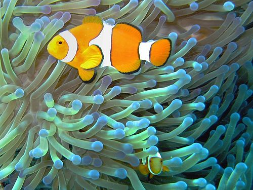 The clownfish feeds on organisms that have the potential to harm the sea anemone. The feces of the clownfish provides nutrition for the sea anemone. The clownfish can hide from predators within the sea anemone, which possesses stinging cells to which the clownfish is immune. Image from wikipedia.