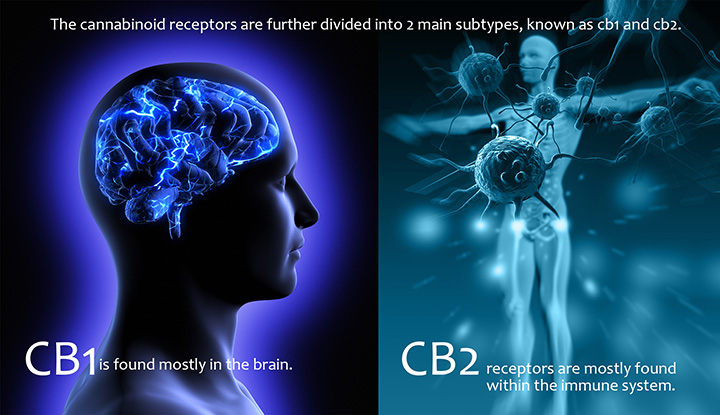 There are two different types of cannabinoid receptors in the body: CB1 and CB2. Image from Leafly.com