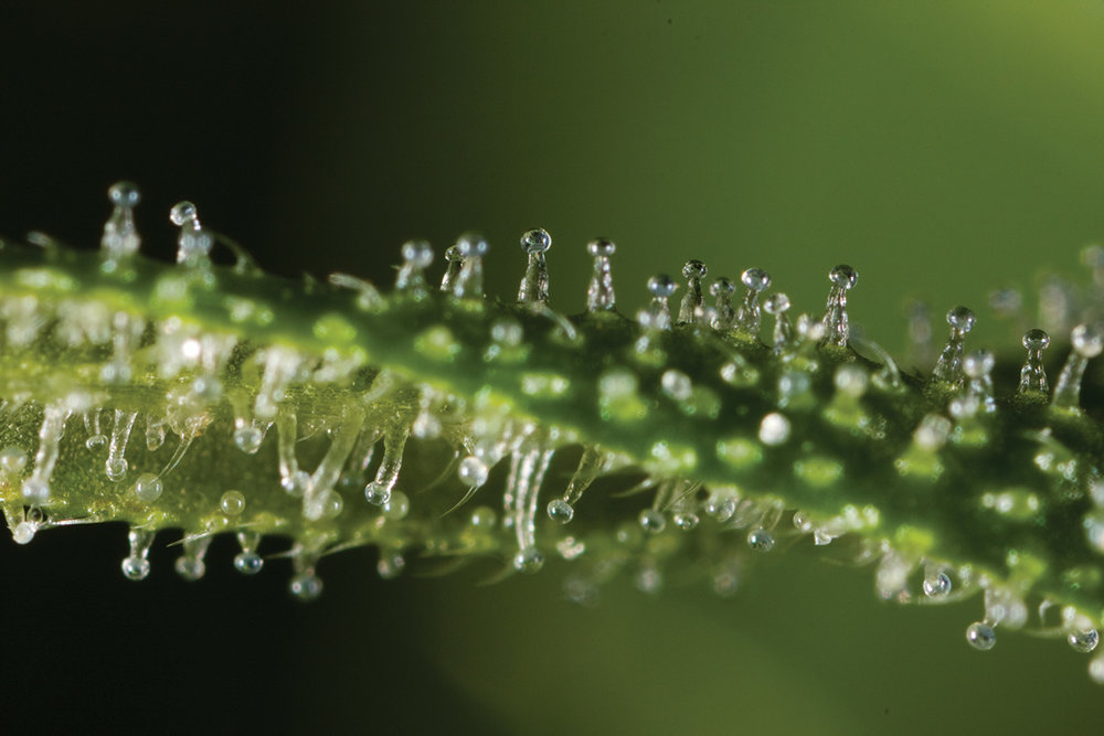 A microscope is required to appreciate the trichome heads of cannabis, the delicate oily structures containing cannabinoids and terpenoids. Handle with care! These structures are delicate and prone to rupture, which will lead to release and loss of these compounds. Image from cannabisculture.com