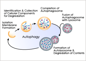 Autophagy, or self digestion, is the process by which cells recycle non-functional proteins to repurpose them. Unwanted cellular parts are isolated within a membrane, which then fuses with an acidic lysosome, thereby liberating subunit building blocks. From Biophagy.com