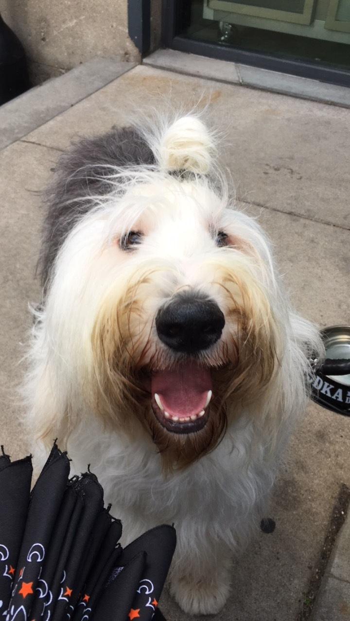 @winstonthesheepdog & his man bun