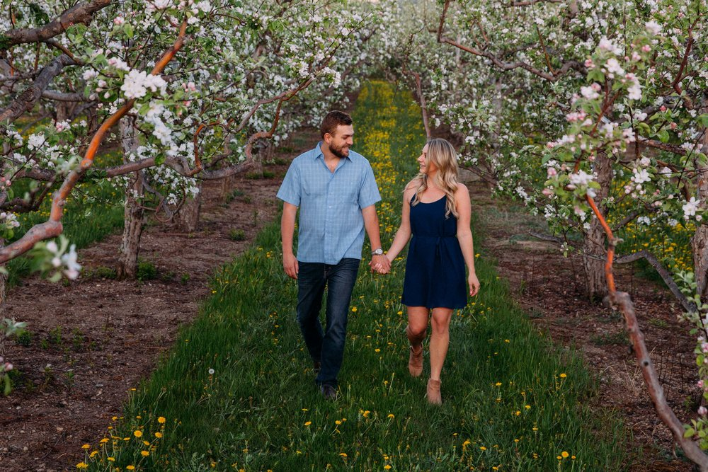 Blooming apple tree orchard in kelowna