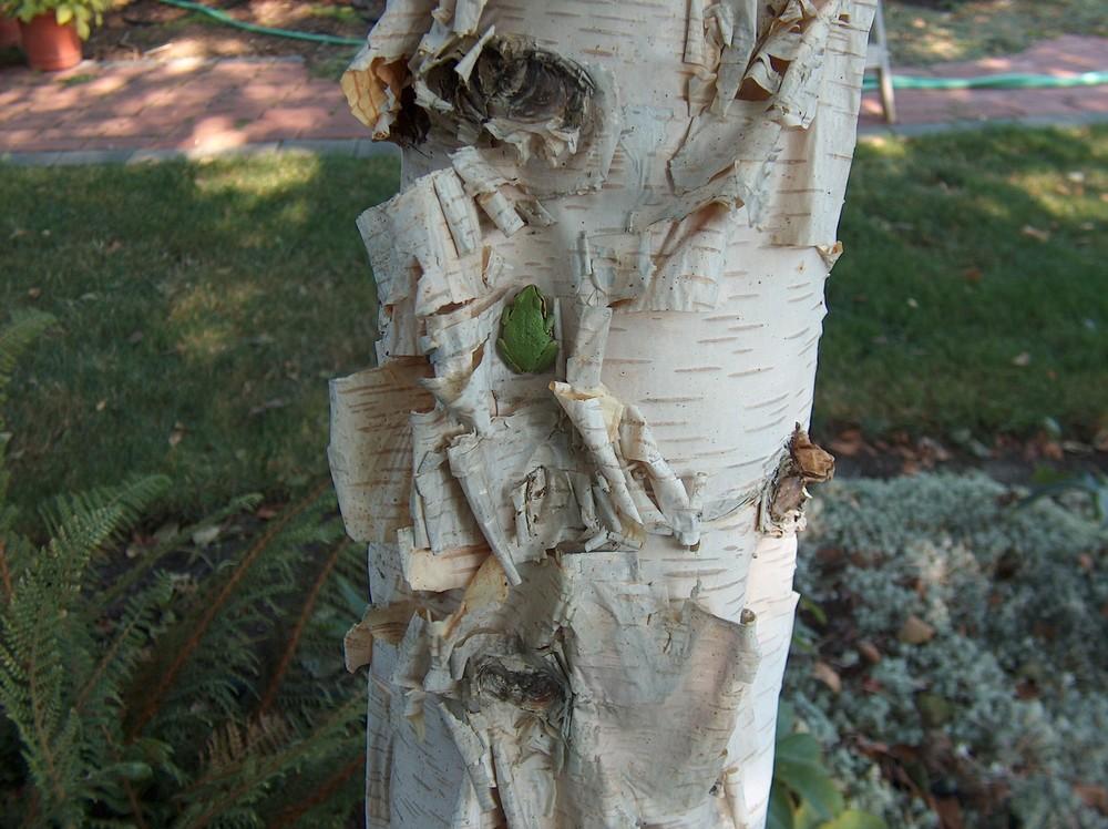 tree frog 001.jpg