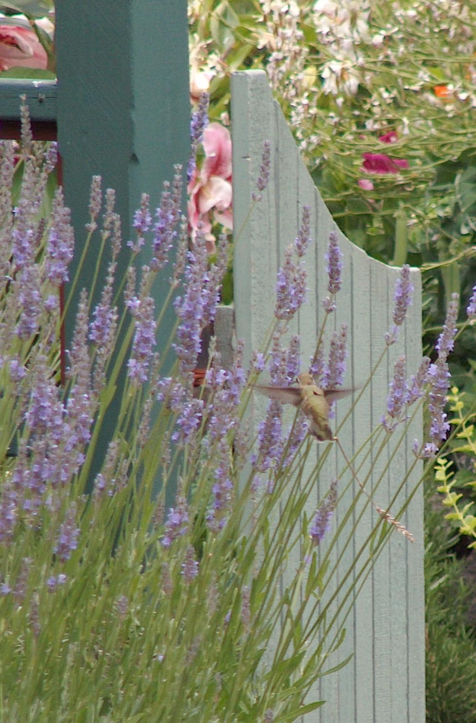 Hummingbird&Lavender.jpg
