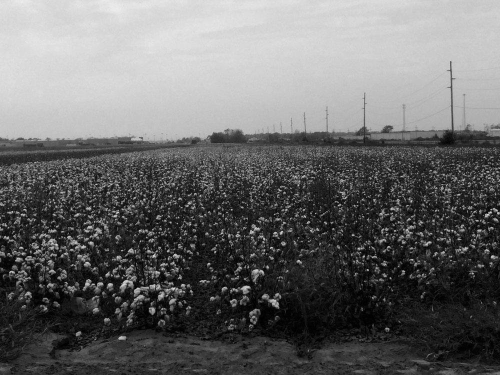 Cotton Fields - Mississippi.  Photo by M.A. Caudel