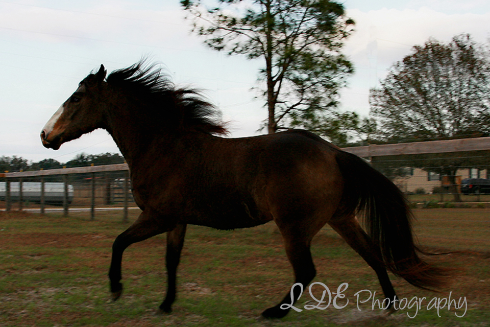 Dark Buckskin Stallion