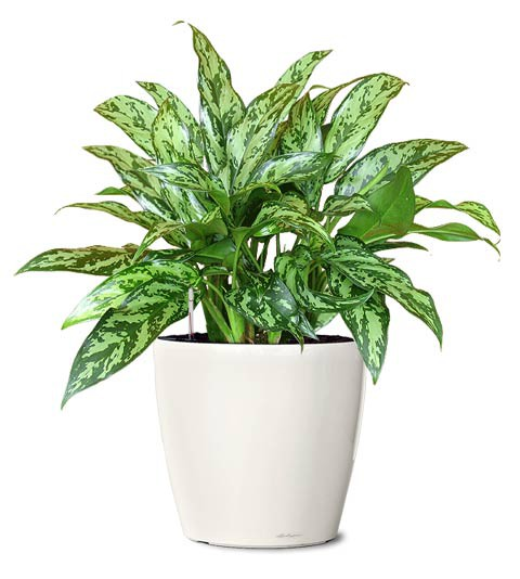 aglaonema-juliette-juliette-chinese-evergreen-plant-small-realornamentals.com-web.jpg