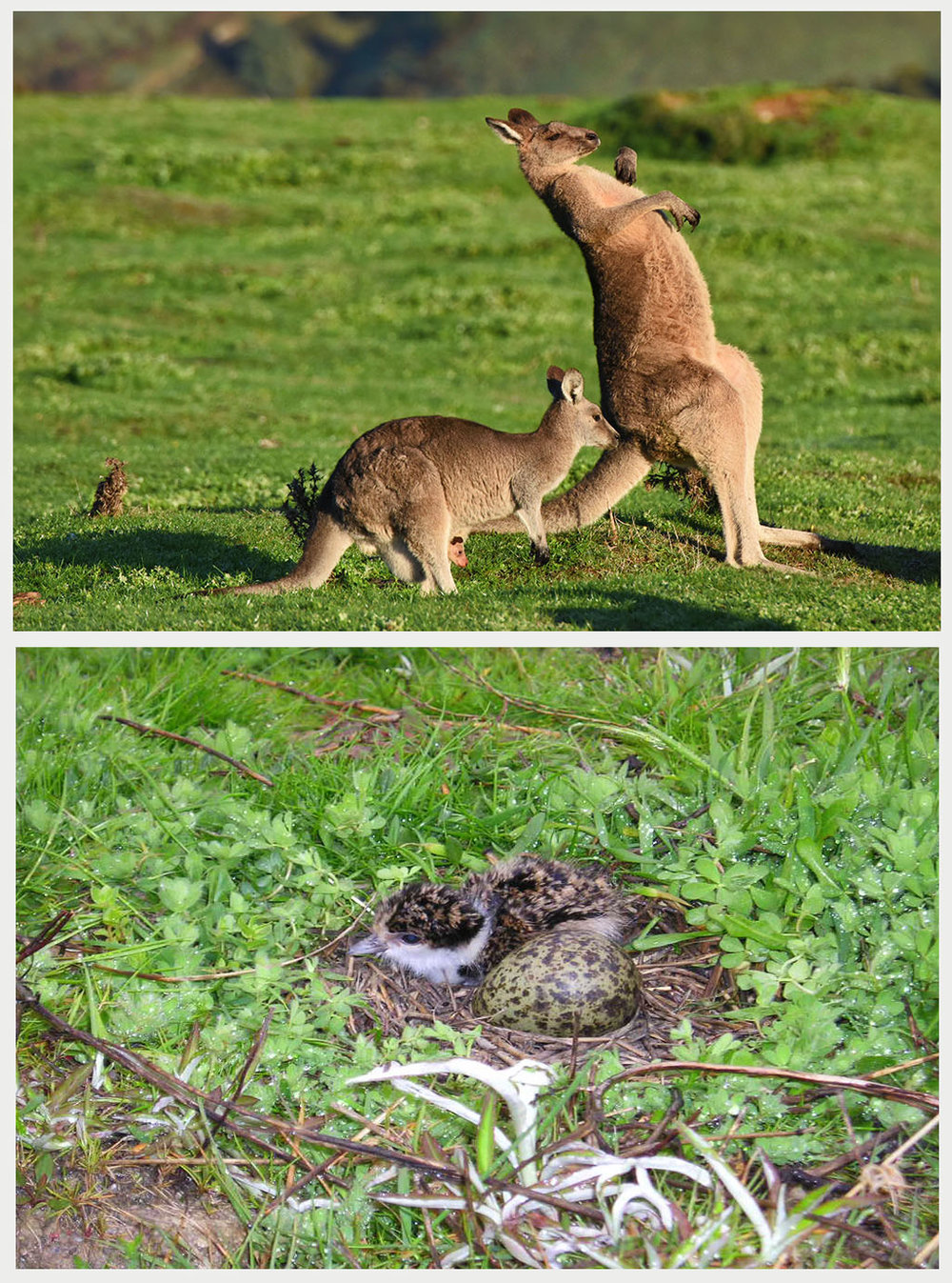 Great capture of the 'roos and that little plover chick looks so vulnerable waiting for it's brother/sister to arrive.