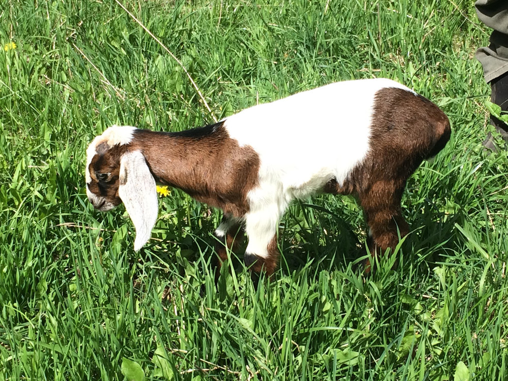 Baby Goat born May 2017.  The goats love welcoming visitors.