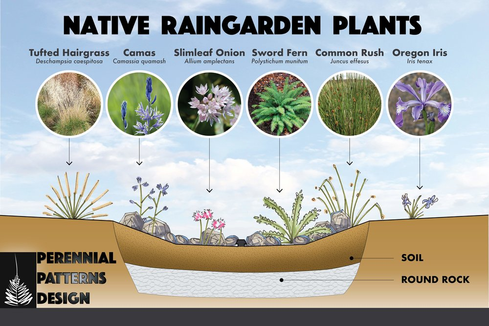Raingarden_Plant_Illustration.jpg