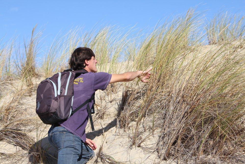 Découverte des oyats avec un naturaliste du Parc Naturel Régional des Landes de Gascogne