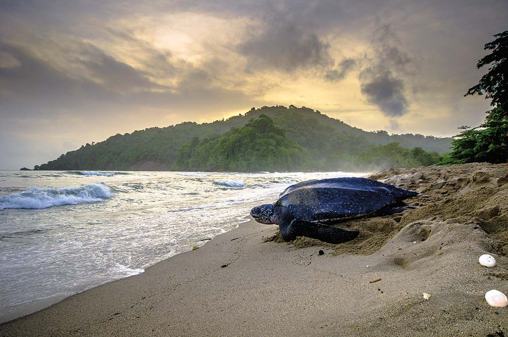The second largest leatherback turtle nesting site in the world is at Grande Rivière from March to September. Photo credit: Stephen Jay Photography