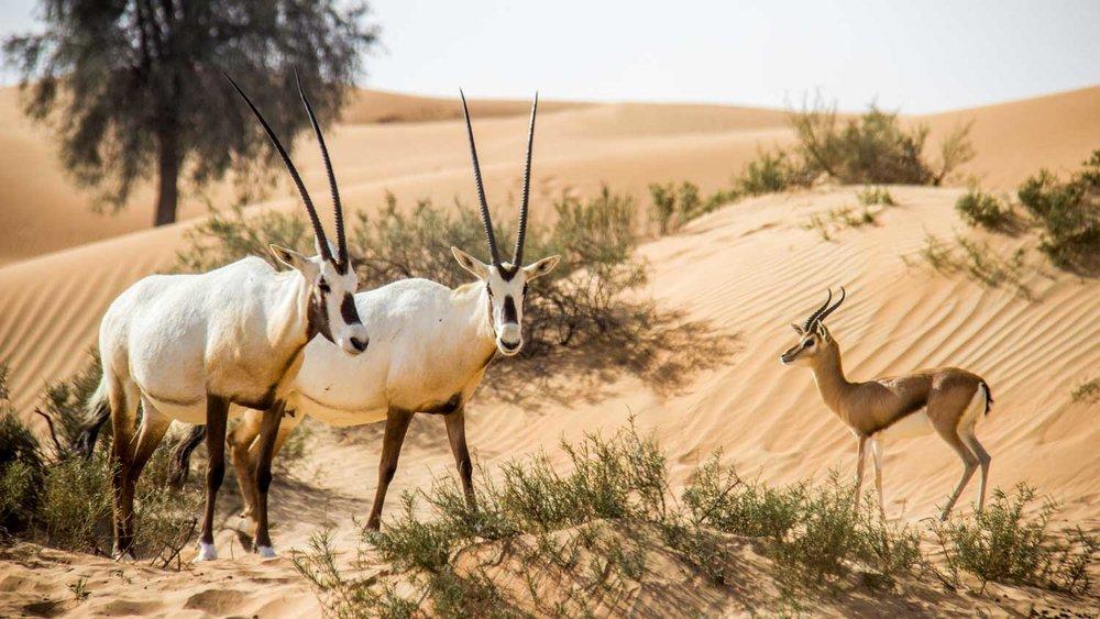 Arabian Oryx and Sand Gazelle in the Dubai Desert Conservation Reserve