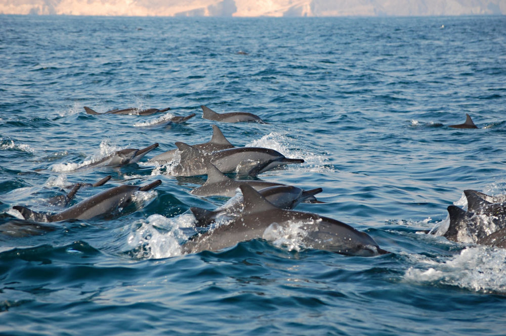 Playful dolphins in the Musandam fjords. Photo by Oman Tourism