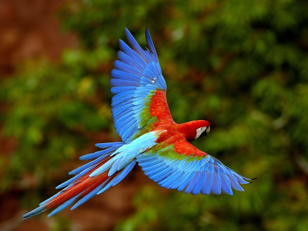 red-and-green-macaw-in-flight-colombia-pictures.jpg