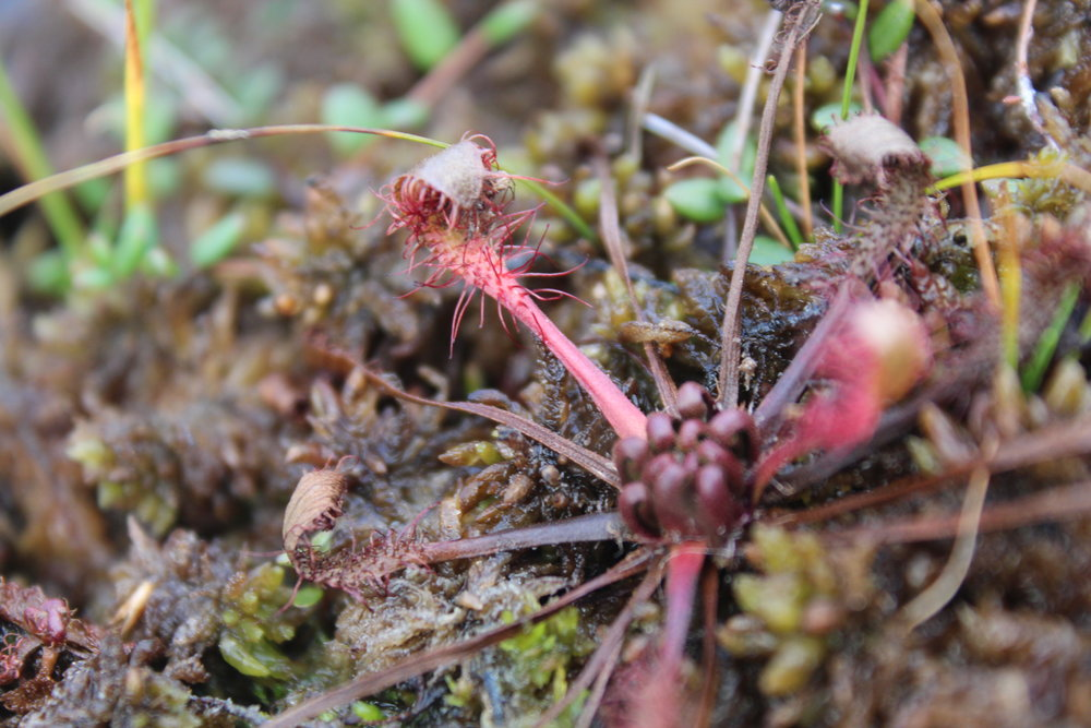 The sundew, drosera (or meat eater), a local carnivorous plant captures insects with sticky tentacles.