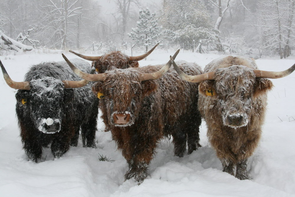 SHCattle_Winter.jpg