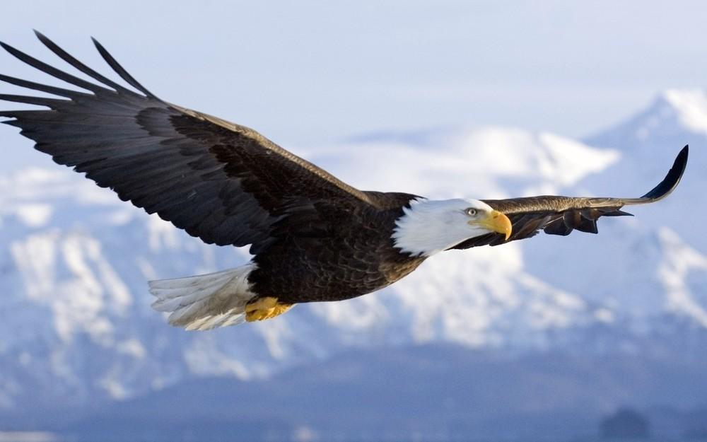 bald-eagle-wallpapers-flight.jpeg
