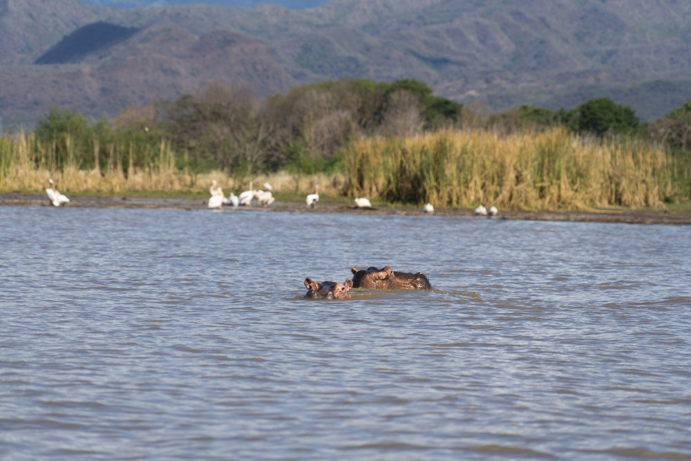 wildlife hippo.jpg