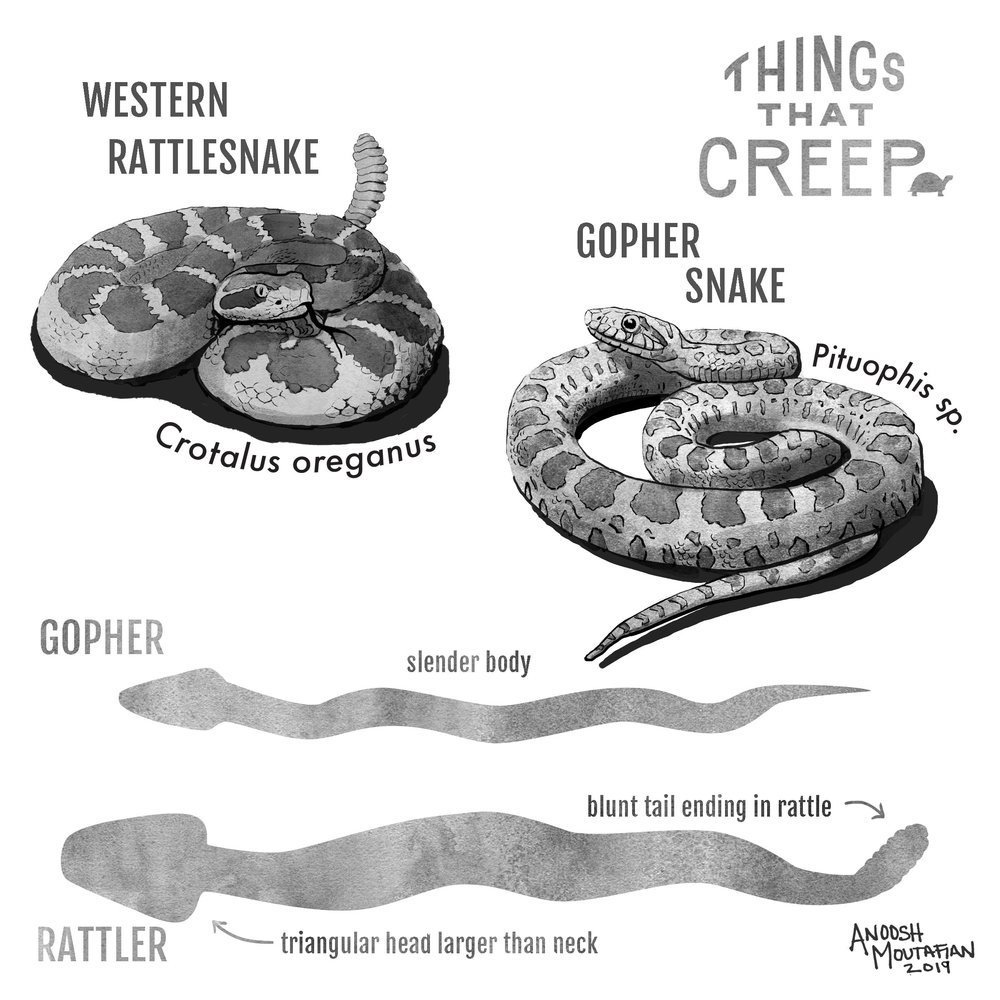 rattler vs gopher 6.jpg