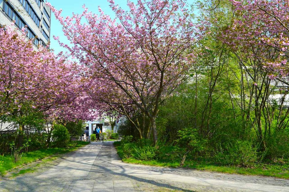 cherryblossomshamburg.jpg