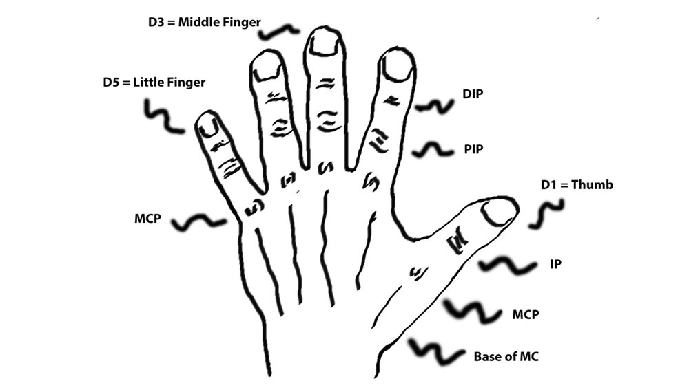 Major anatomical landmarks on the hand and fingers