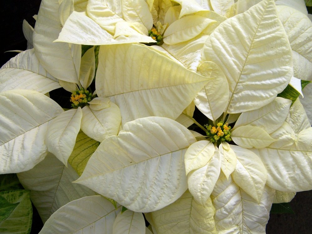 white_poinsettia_poinsettias_christmas_flower_christmas_xmas_flowers_euphorbia_pulcherrima_holiday_flowers-1259514.jpg!d.jpg
