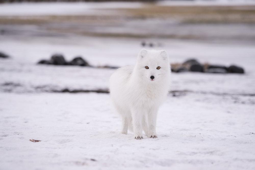 JHHP The Artic Fox