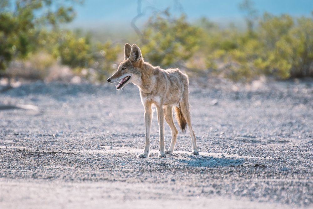 JHHP Wolf subspecies