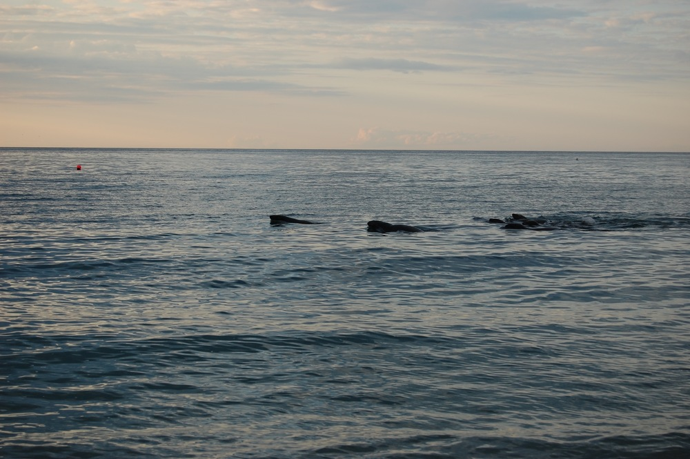 Gray seals at Race Point, Cape Code, MA.