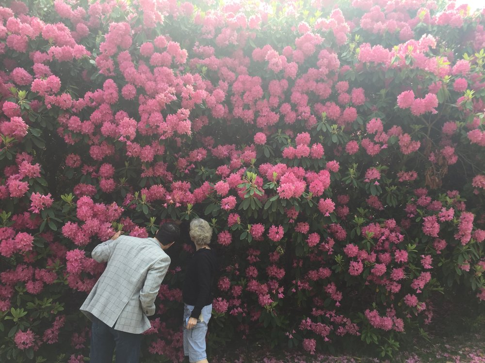 My mom and her coworker discussing proper technique for cutting back rhododendrons