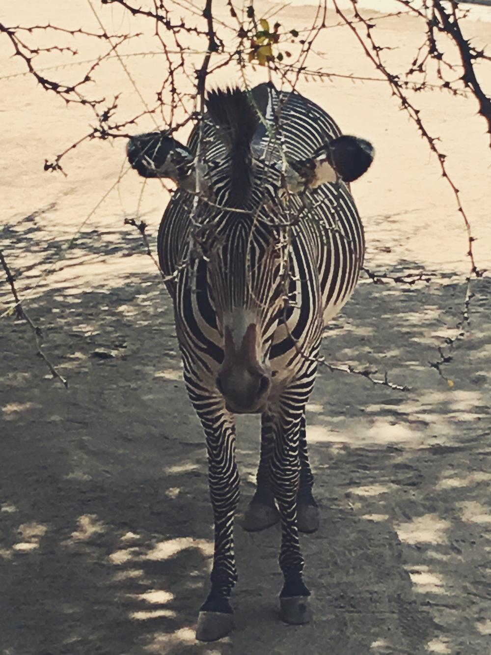Beautiful zebra at the LA Zoo