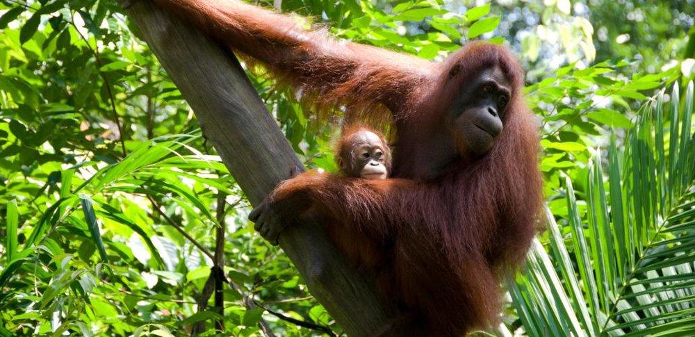 orangutan and baby.jpg