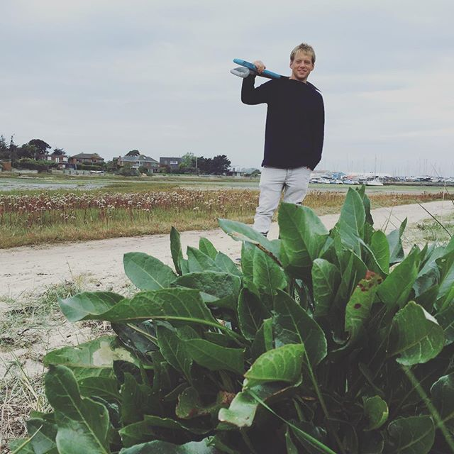 Foraging some Sea Beet with @louisbindon #hayling #breakfast