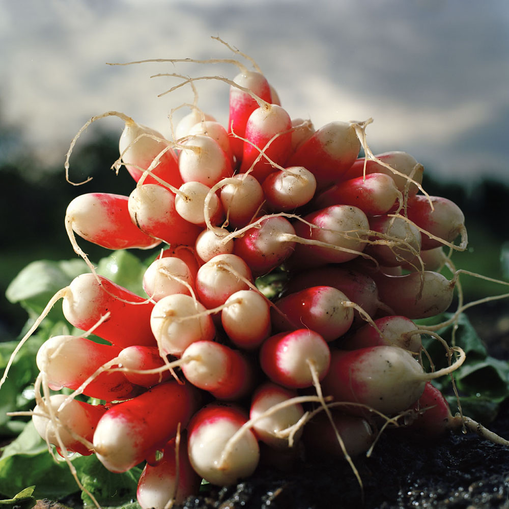 Roy Mehta Radishes