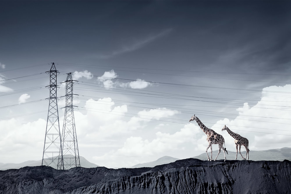 Chris Clor giraffes and electric pylons