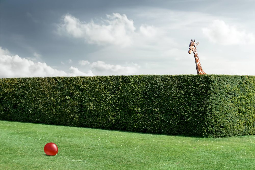 Chris Clor giraffe, hedge with red ball