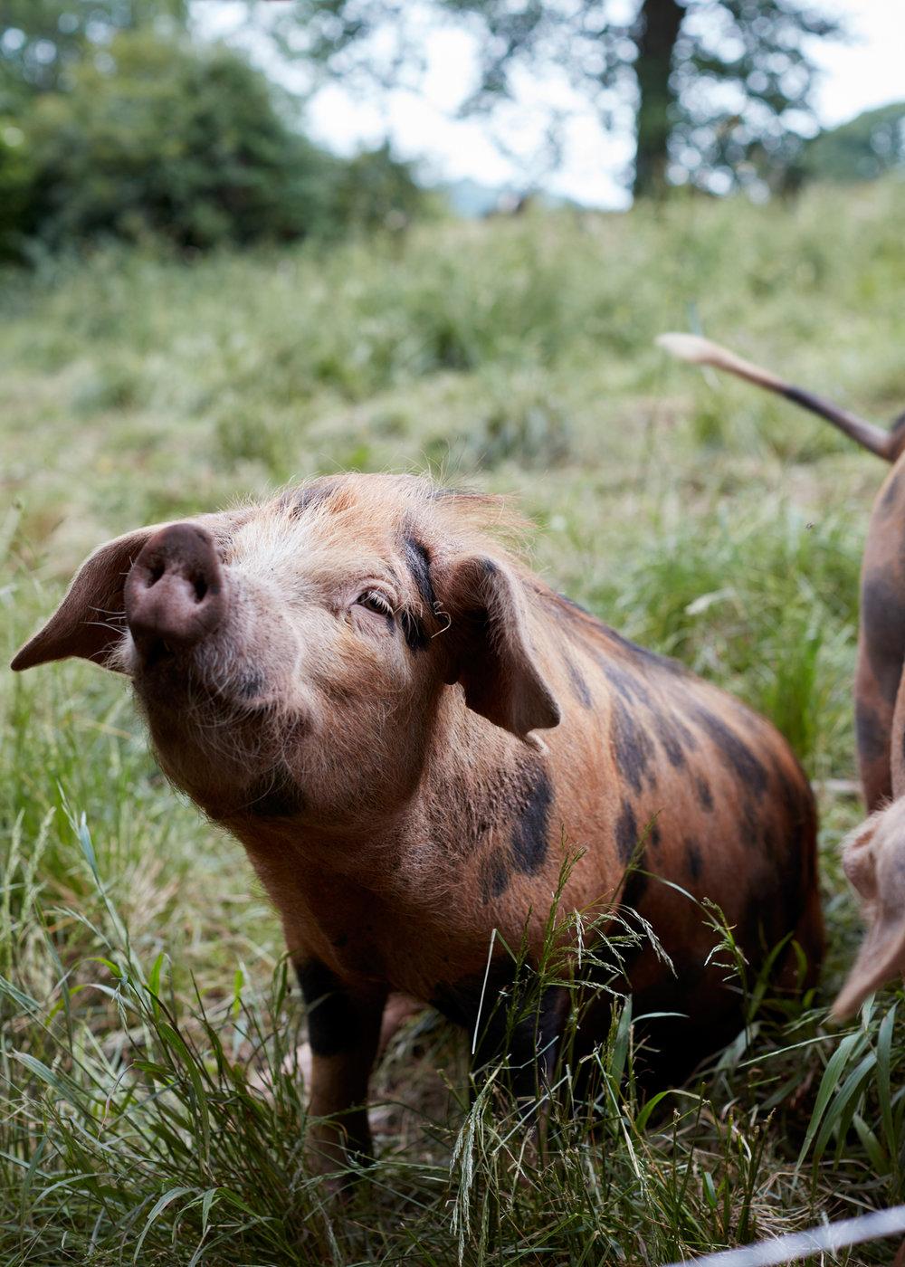 Jamie Orlando Smith - pig