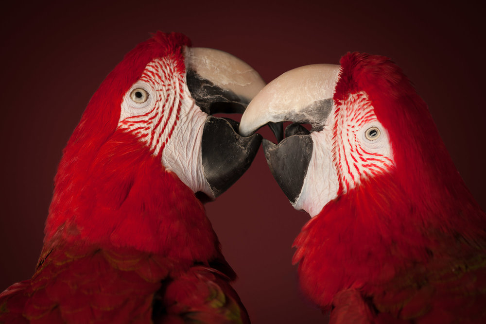 Tim Platt - kissing red Parrots