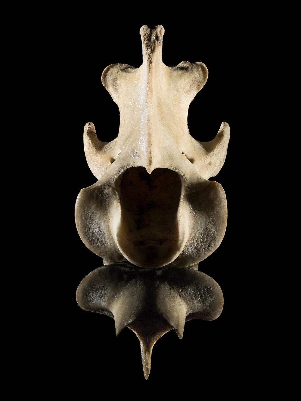 Tim Platt - still life bones