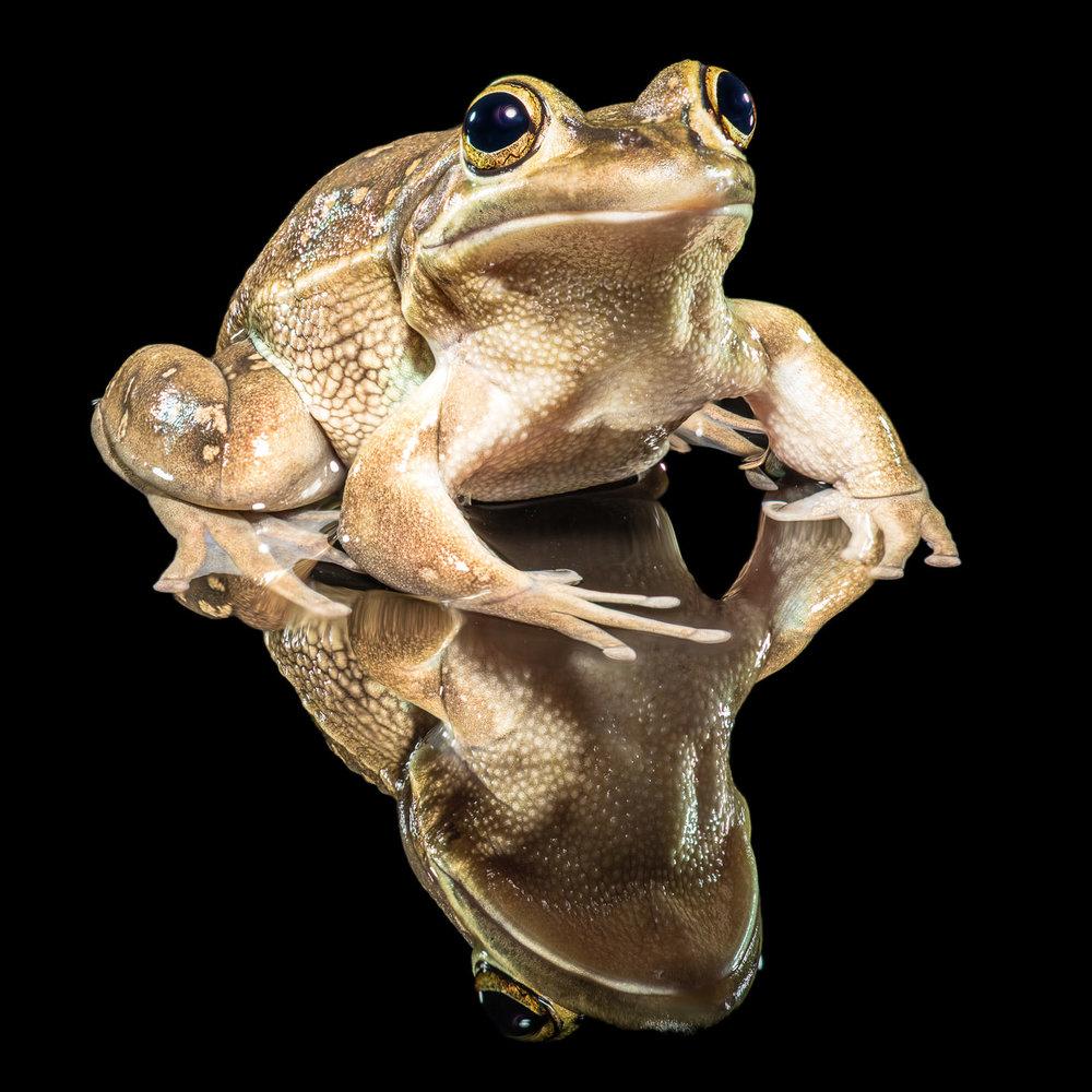 Tim Platt - frog