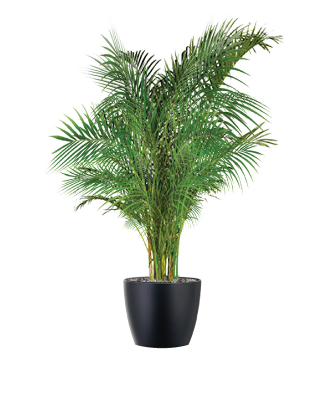 areca-palm-plant.png